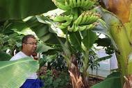 ++横浜でバナナ栽培@カネコ農園++_e0140921_23142763.jpg