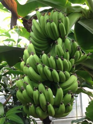 ++横浜でバナナ栽培@カネコ農園++_e0140921_2382456.jpg