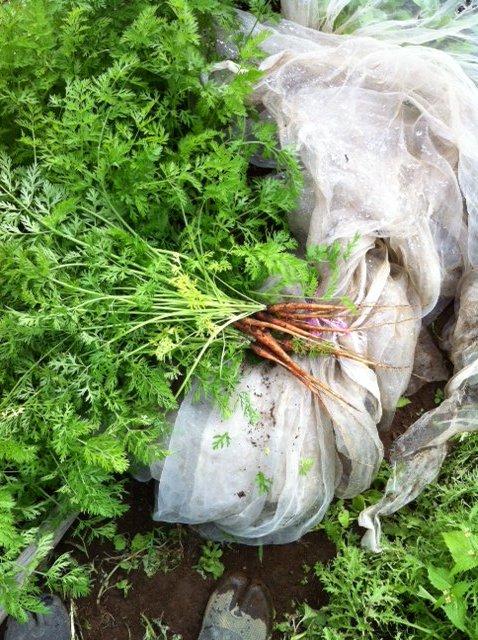 間引き人参やほうれん草達の収穫も始まりました。アゲハ蝶の幼虫が元気です_c0222448_14293859.jpg