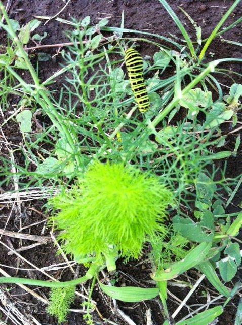 間引き人参やほうれん草達の収穫も始まりました。アゲハ蝶の幼虫が元気です_c0222448_14295254.jpg