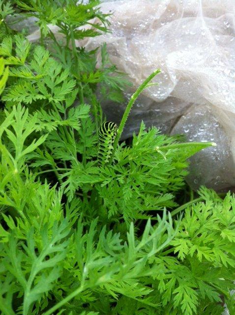 間引き人参やほうれん草達の収穫も始まりました。アゲハ蝶の幼虫が元気です_c0222448_14525461.jpg