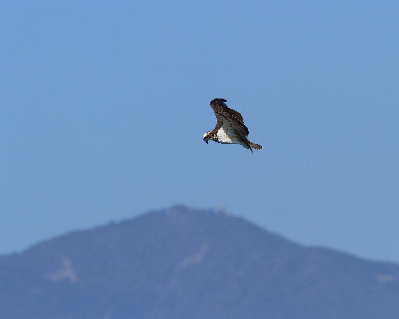 大山背景にホバリングで獲物を探すミサゴ_f0105570_20523147.jpg
