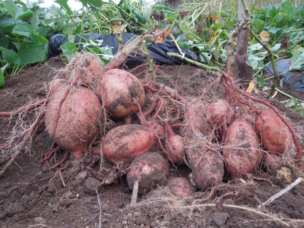 「安納芋 収穫-2013」_a0120513_21554793.jpg