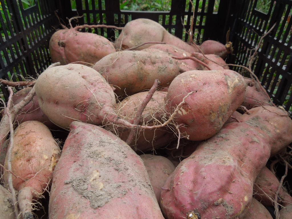 「安納芋 収穫-2013」_a0120513_21571825.jpg
