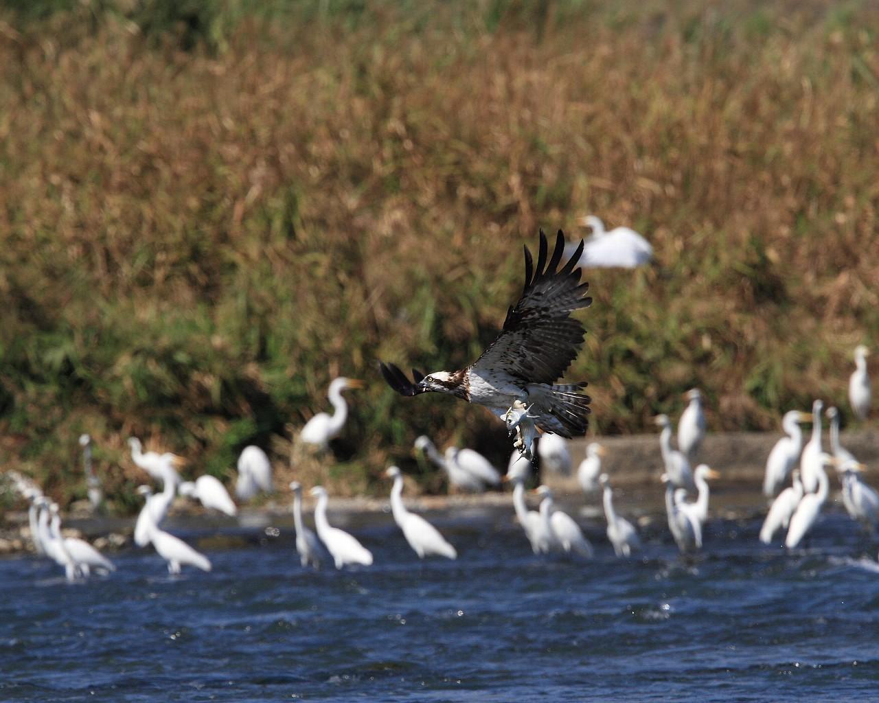 集まったギャラリーの前を獲物を持って飛ぶミサゴ_f0105570_2136574.jpg