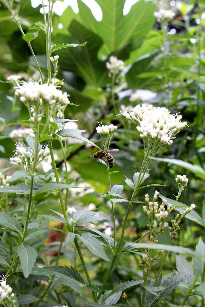 ハチさんどうしたのかな  ~白花のフジバカマ~_a0107574_19221954.jpg