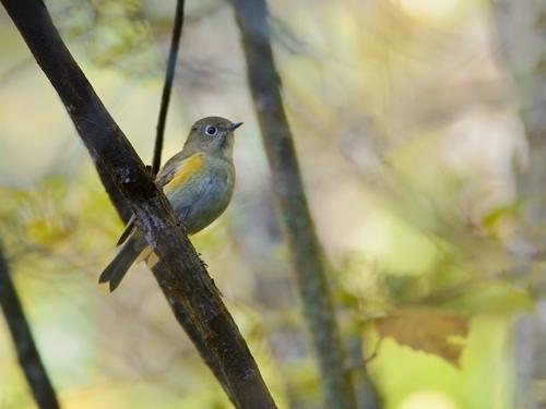 秋の小鳥たち(5)ルリビタキ_a0204089_7203157.jpg