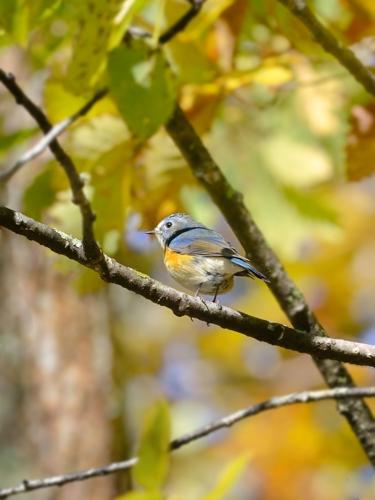 秋の小鳥たち(5)ルリビタキ_a0204089_7205157.jpg