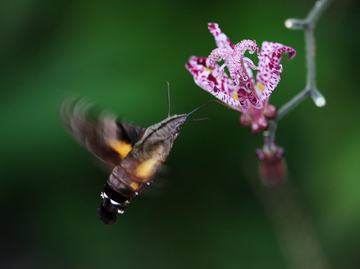 今年もホトトギスの花にホージャクが来ました_f0305401_7491457.jpg