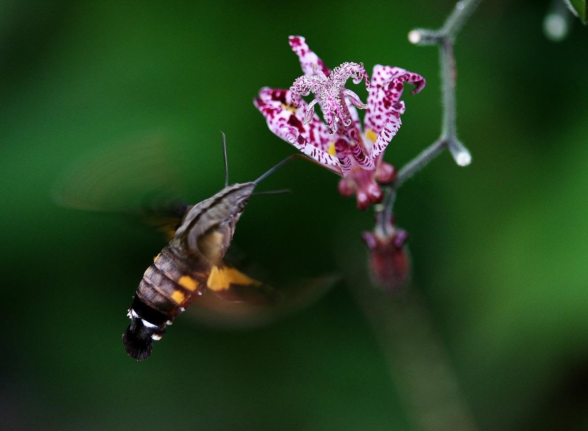 今年もホトトギスの花にホージャクが来ました_f0305401_7494212.jpg