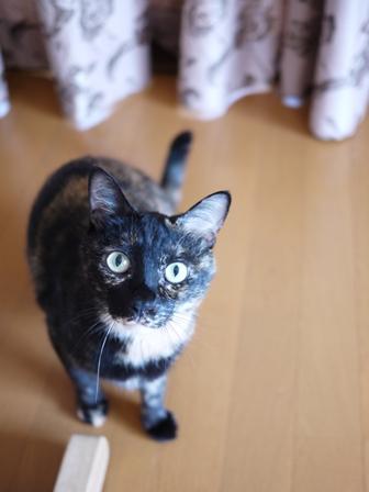 猫のお友だち ワサビちゃん天ちゃんう京くん編。_a0143140_21442424.jpg