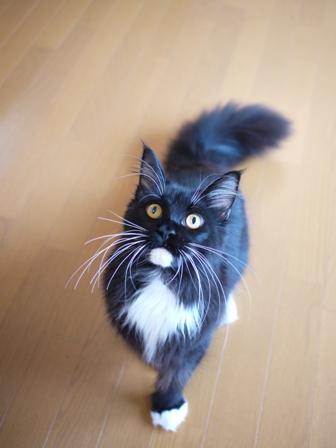猫のお友だち ワサビちゃん天ちゃんう京くん編。_a0143140_21452552.jpg