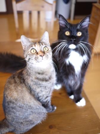 猫のお友だち ワサビちゃん天ちゃんう京くん編。_a0143140_2149167.jpg