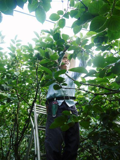 太秋柿 シャキシャキ!!極甘!!やっぱり美味い!!!全国ヘ大好評出荷中です_a0254656_1933779.jpg