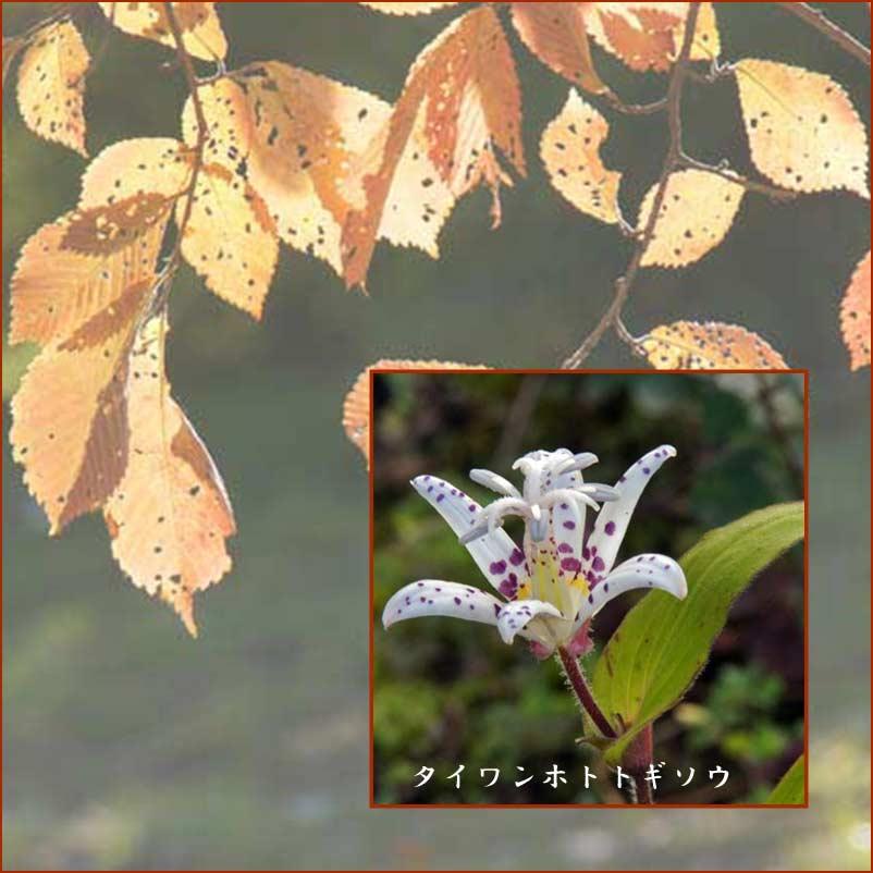 タイワンホトトギス_d0162994_812314.jpg