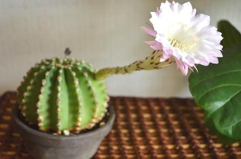 サボテンの花が咲きました_d0263815_1703522.jpg