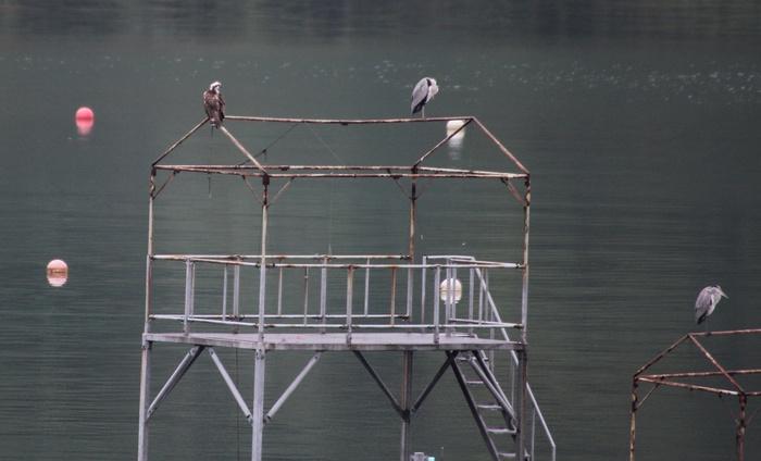 2013.10.23 冬鳥まだです・早戸川林道・ミサゴ_c0269342_14394849.jpg