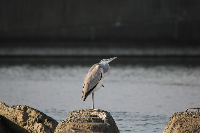2013.10.23 冬鳥まだです・早戸川林道・ミサゴ_c0269342_14412321.jpg