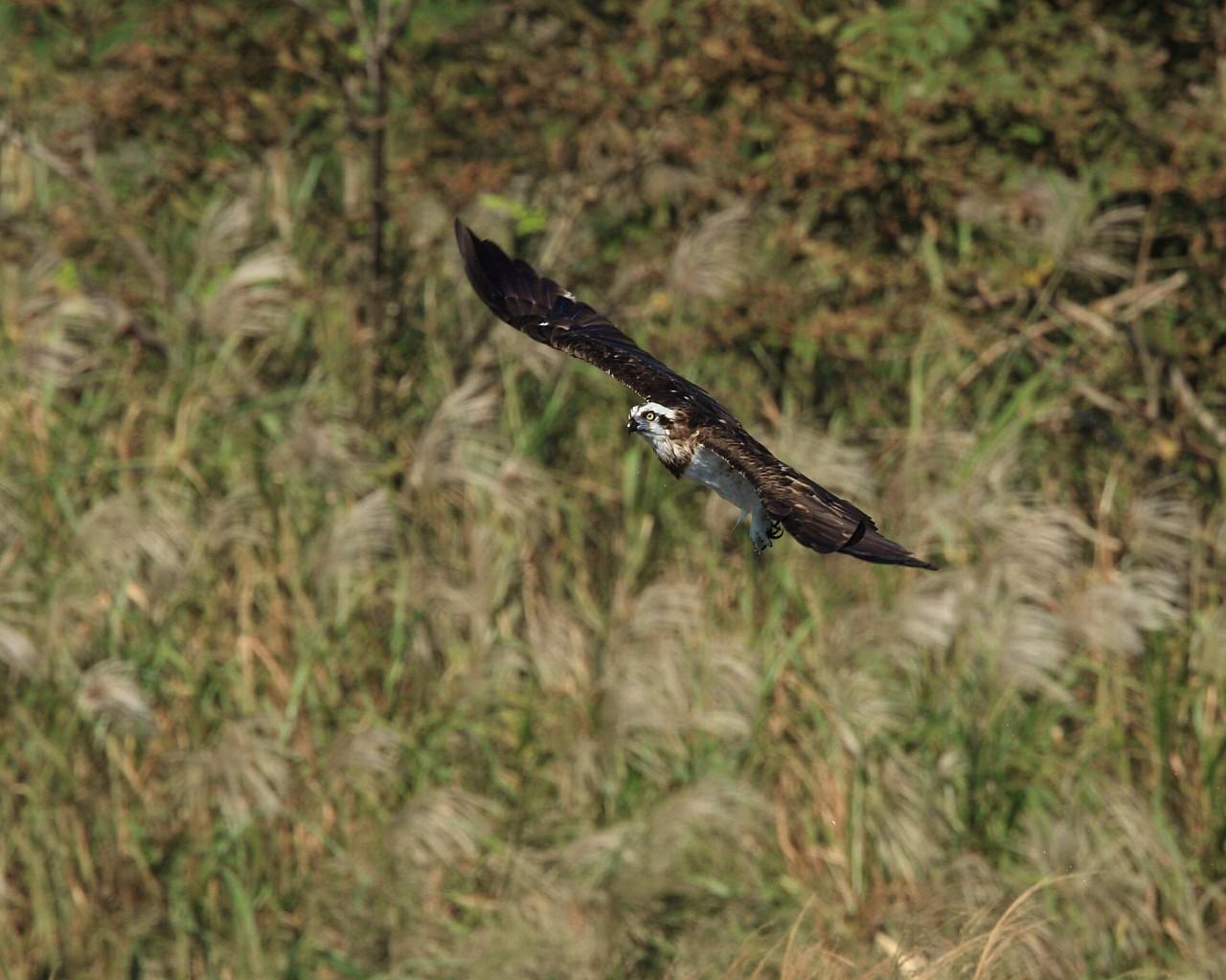 ススキを背景に秋らしいミサゴの飛翔_f0105570_2194162.jpg