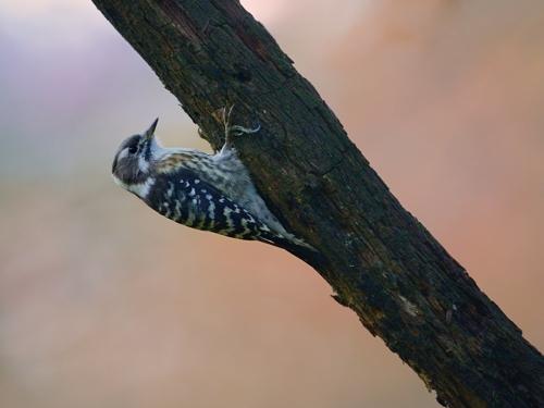 秋の小鳥たち(6)コゲラ_a0204089_6513763.jpg