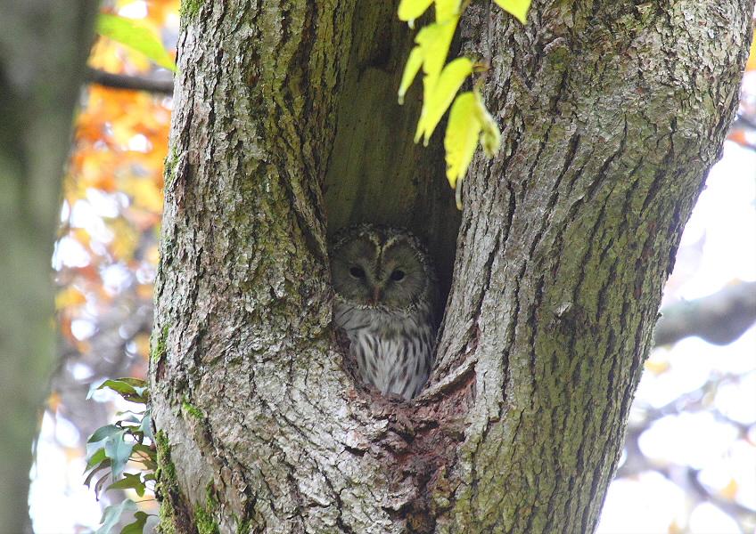 秋色の森のエゾフクロウ_c0113597_1691771.jpg