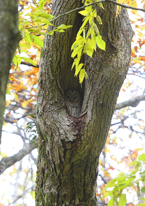 秋色の森のエゾフクロウ_c0113597_169365.jpg