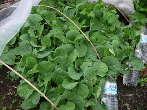 種から蒔いて育てたキャベツの苗を移植(2013・10・24)_c0014967_1621249.jpg