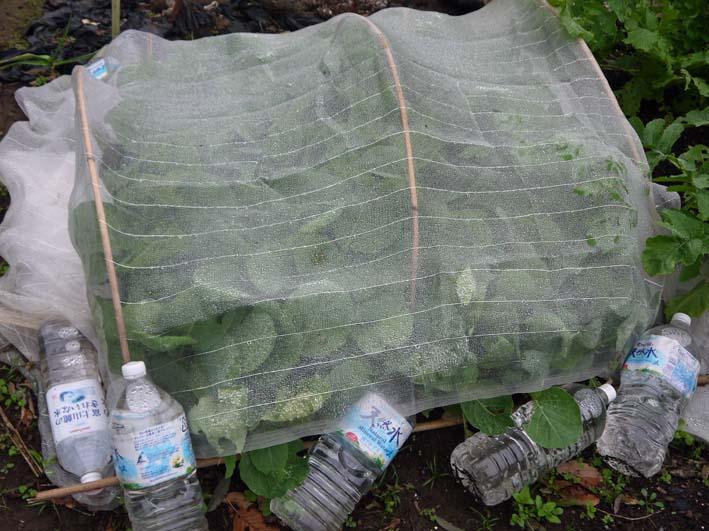 種から蒔いて育てたキャベツの苗を移植(2013・10・24)_c0014967_16247100.jpg