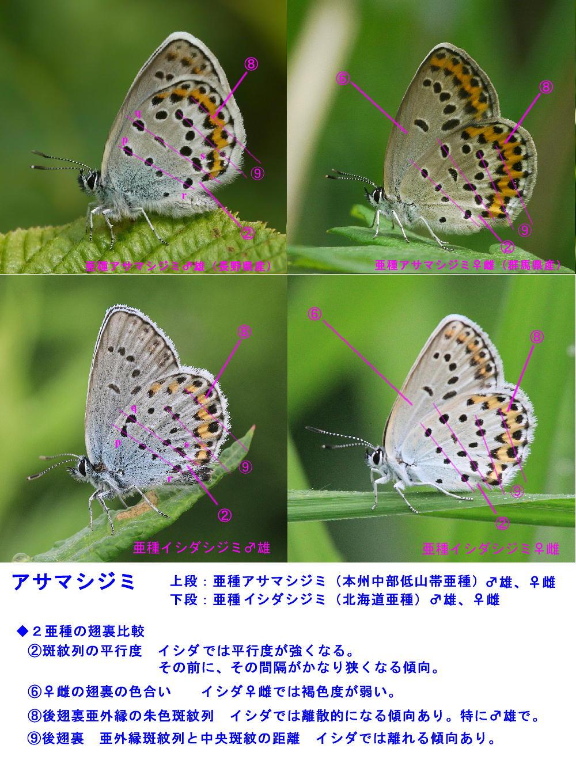 アサマシジミ 北海道亜種・イシダシジミ 2013.7.13北海道07_a0146869_5461644.jpg