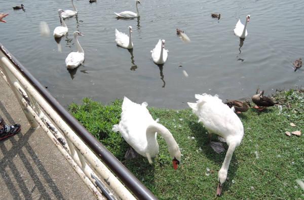 手賀沼に棲む水鳥たち 3_e0200879_11365091.jpg