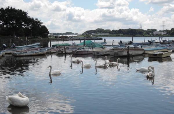 手賀沼に棲む水鳥たち 3_e0200879_11371644.jpg