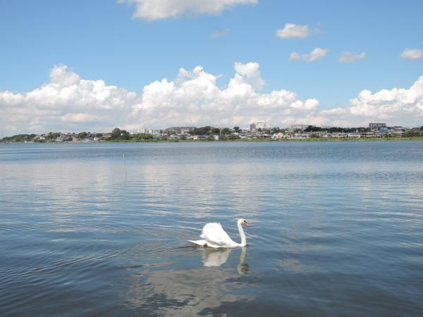 手賀沼に棲む水鳥たち 3_e0200879_11375372.jpg