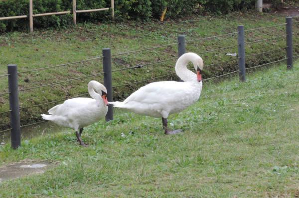 手賀沼に棲む水鳥たち 3_e0200879_113815100.jpg