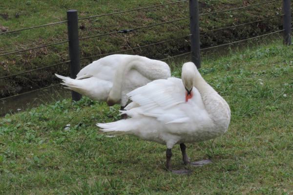 手賀沼に棲む水鳥たち 3_e0200879_11382874.jpg