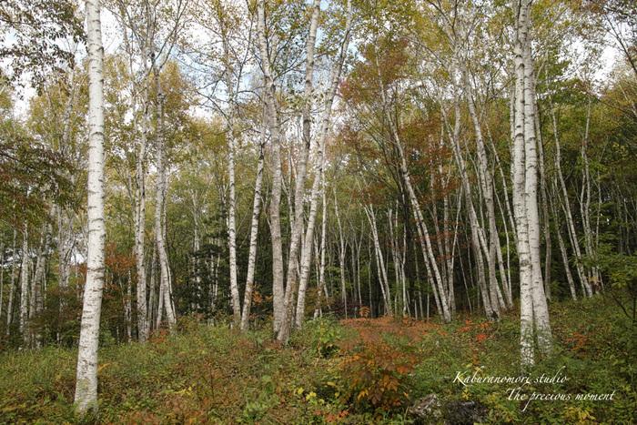 初秋の白樺林_c0137403_16474030.jpg