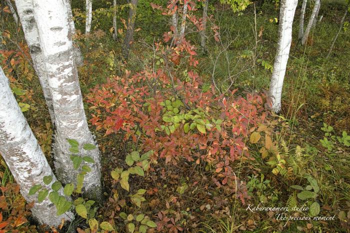 初秋の白樺林_c0137403_16483780.jpg