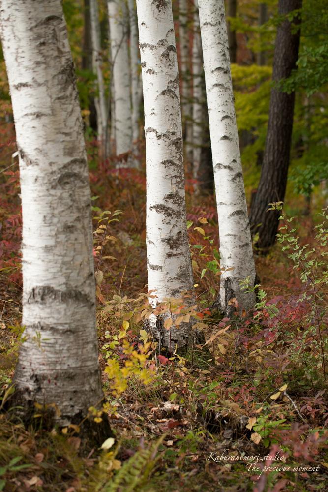 初秋の白樺林_c0137403_1649784.jpg