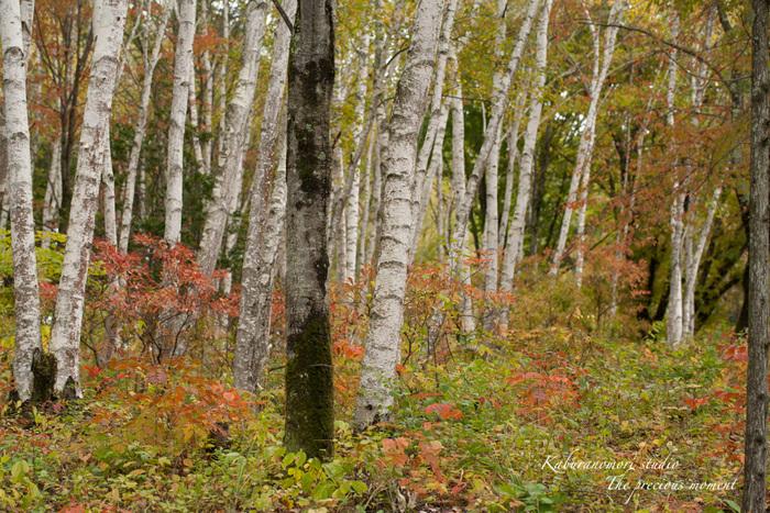 初秋の白樺林_c0137403_16562975.jpg