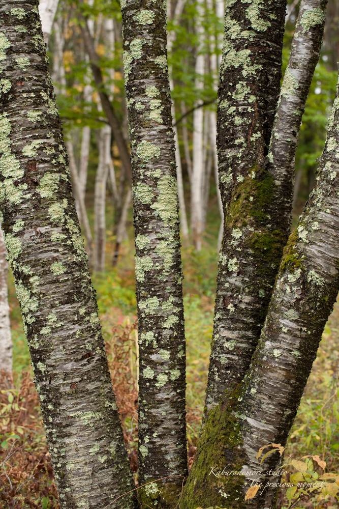 初秋の白樺林_c0137403_16565113.jpg