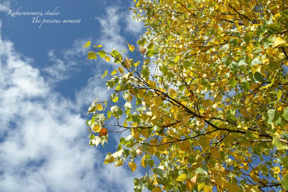 初秋の白樺林_c0137403_1657230.jpg