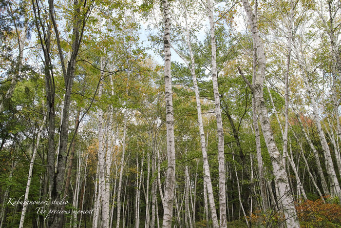 初秋の白樺林_c0137403_16573416.jpg