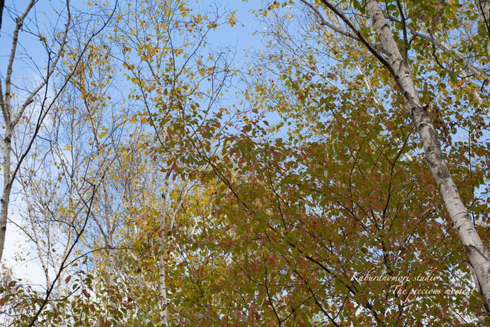 初秋の白樺林_c0137403_16594378.jpg