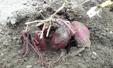 2013 収穫の秋 ~さつま芋掘り~_f0163105_14442362.jpg