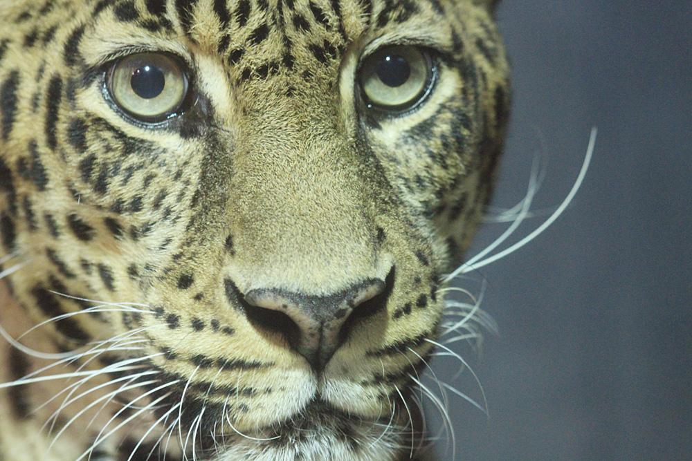 2013.10.6 いしかわ動物園☆ヒョウのマウントとハッピー 【Leopard】_f0250322_23104111.jpg