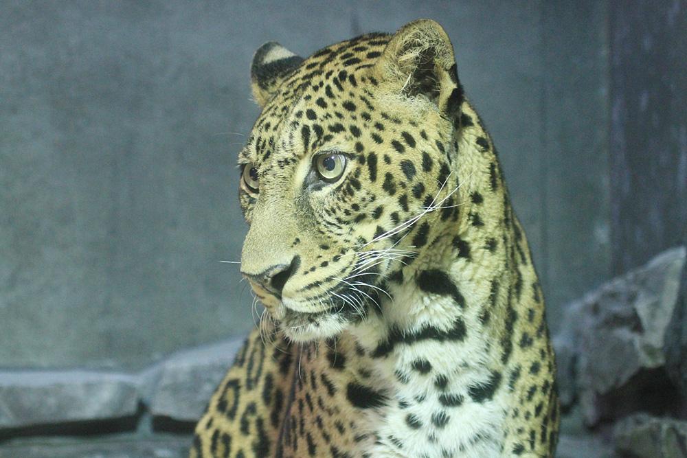 2013.10.6 いしかわ動物園☆ヒョウのマウントとハッピー 【Leopard】_f0250322_23115743.jpg