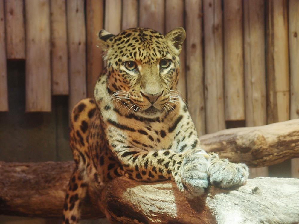 2013.10.6 いしかわ動物園☆ヒョウのマウントとハッピー 【Leopard】_f0250322_23115958.jpg