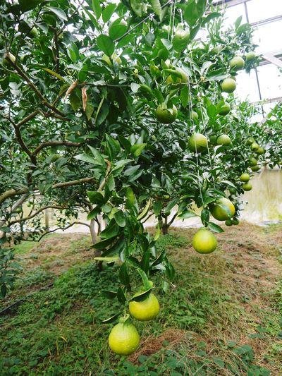 デコポン(肥後ポン) 樹上完熟デコポン『ひのゆたか』の色付き(その1)_a0254656_16583878.jpg