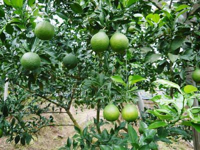 デコポン(肥後ポン) 樹上完熟デコポン『ひのゆたか』の色付き(その2)_a0254656_19163768.jpg
