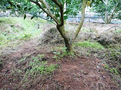 デコポン(肥後ポン) 樹上完熟デコポン『ひのゆたか』の色付き(その2)_a0254656_19271375.jpg