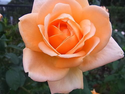 秋のバラ_b0105897_0513331.jpg